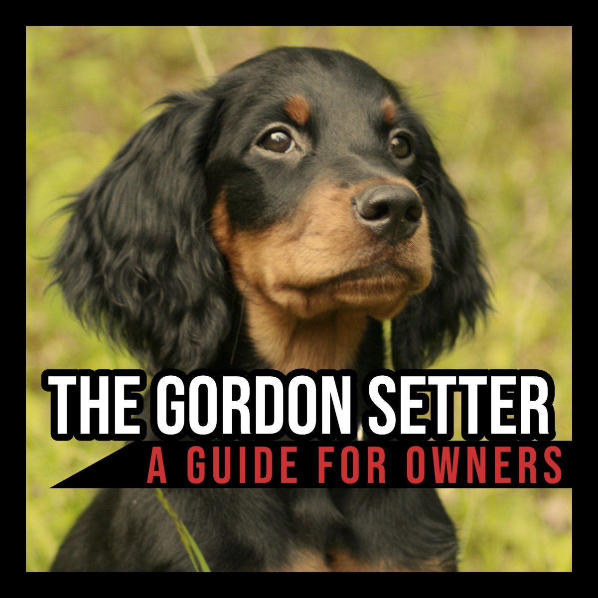 The Gordon Setter: A Guide for Owners