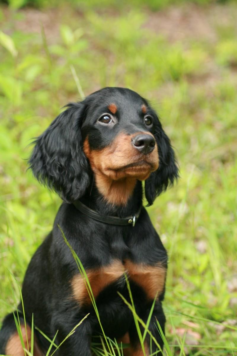 Sweet Gordon Setter puppy sitting outside.