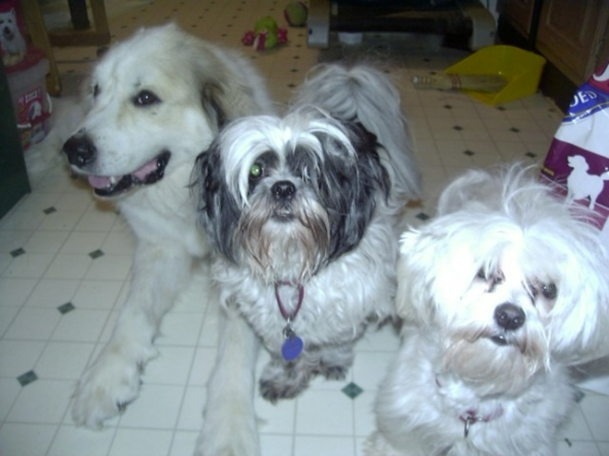Waco with Teddy, the Shih Tsu and Freddie, the Maltese.