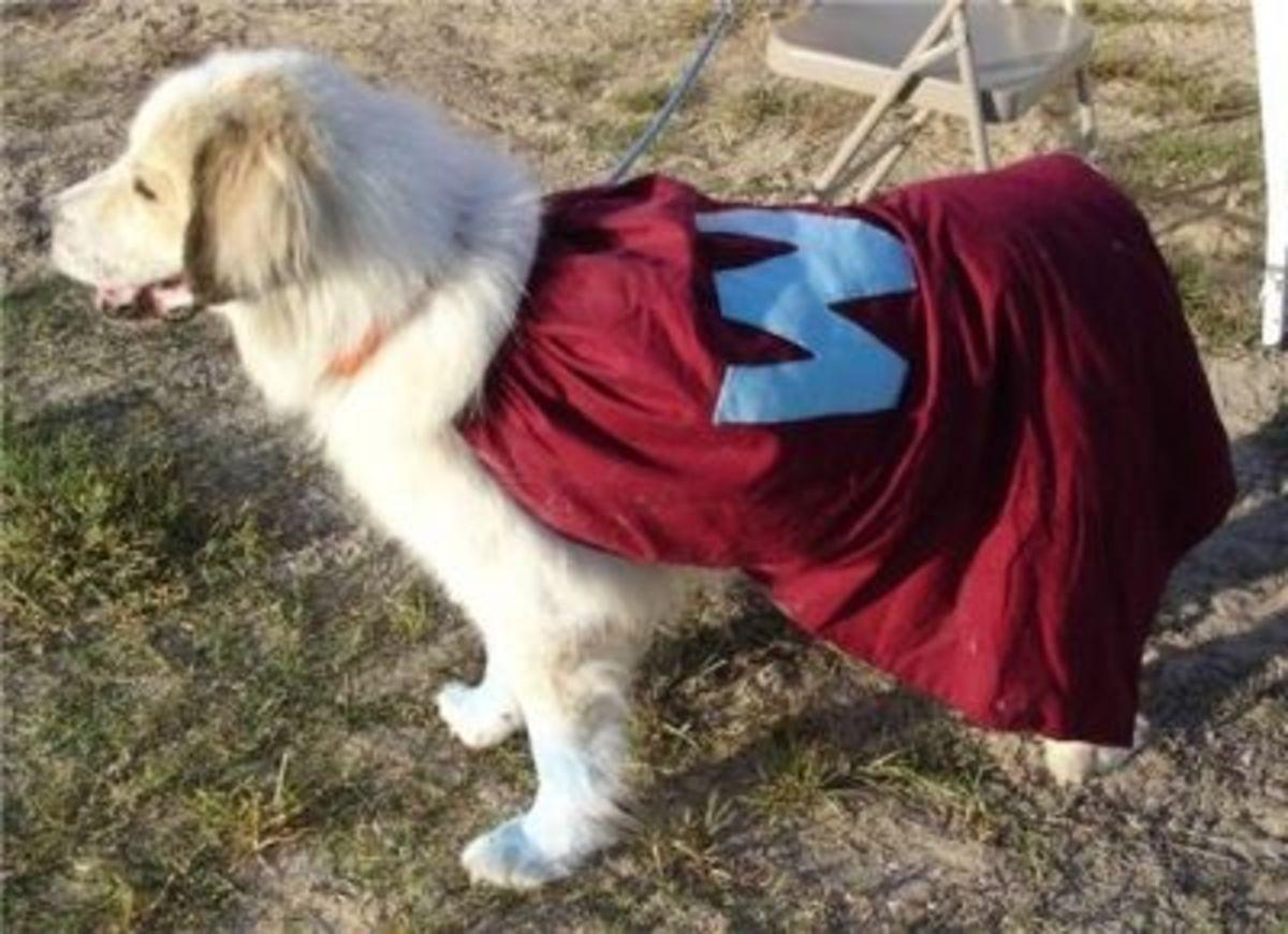 Waco Wearing his Wonder Dog Cape ~ RIP Sweet Waco - July 29, 2012