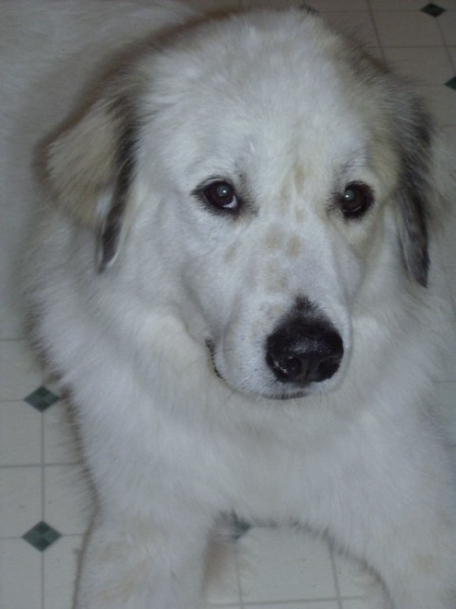 Sweet Waco the Wonder Dog, the Great Pyrenees