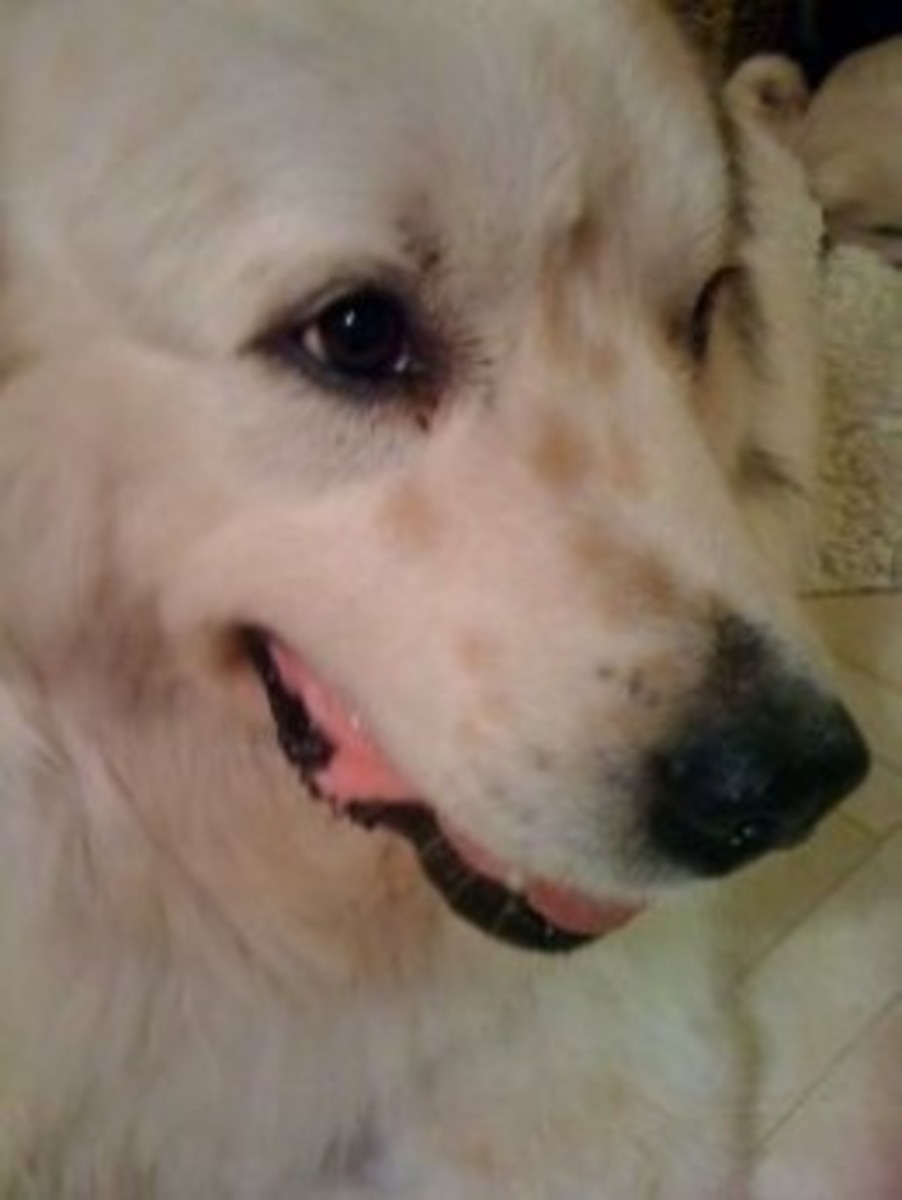 Vikk Simmons - Great Pyrenees, Waco the Wonder Dog