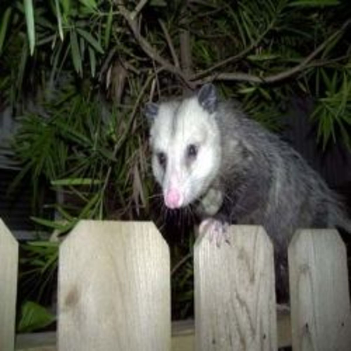 oppossum, midnight intruder
