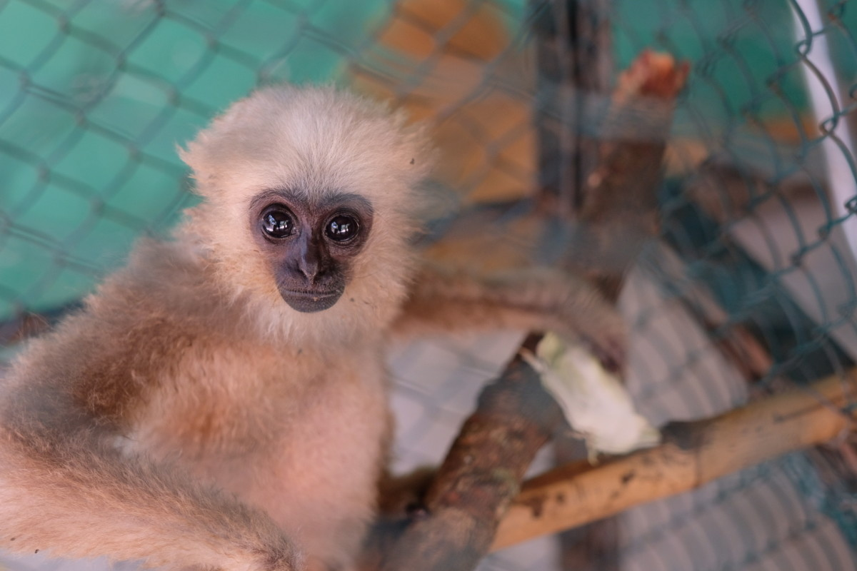 A baby gibbon in the centre's nursery