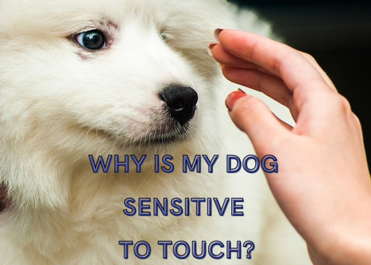 Why Is My Dog Sensitive to Touch? Tips for Dogs Who Hate Being Touched