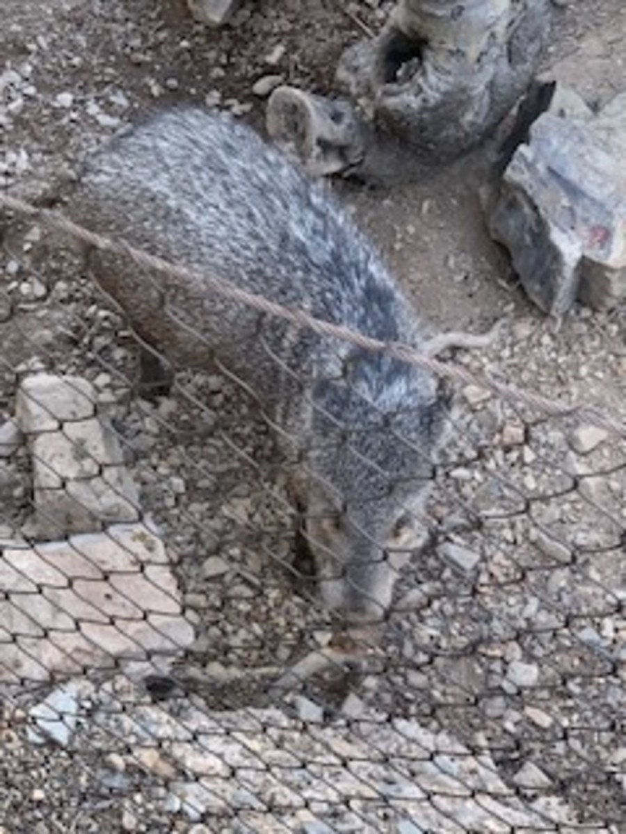 This guy is called a Javelina