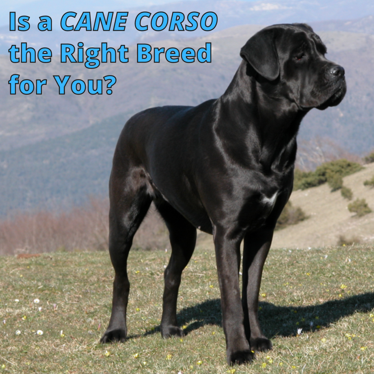 The Cane Corso is an amazing breed that can make a wonderful pet.