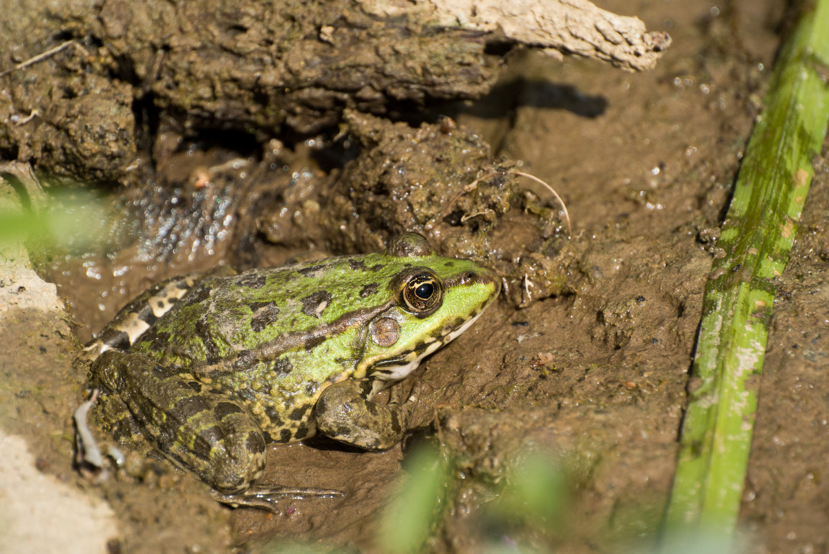 Green Spotted Frog in the Mud