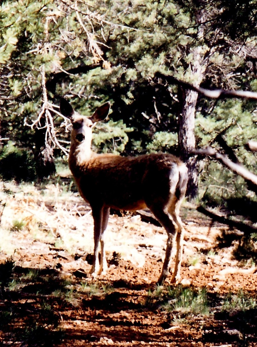 Deer at the Grand Canyon