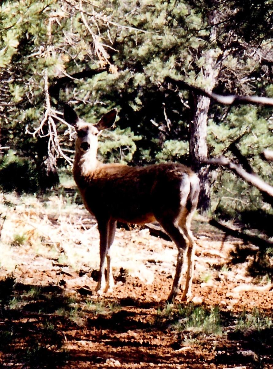Deer at Grand Canyon