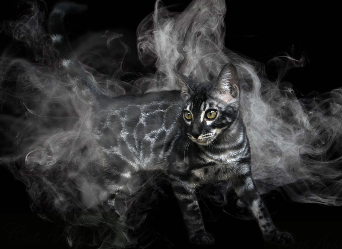 The Silver Bengal Cat