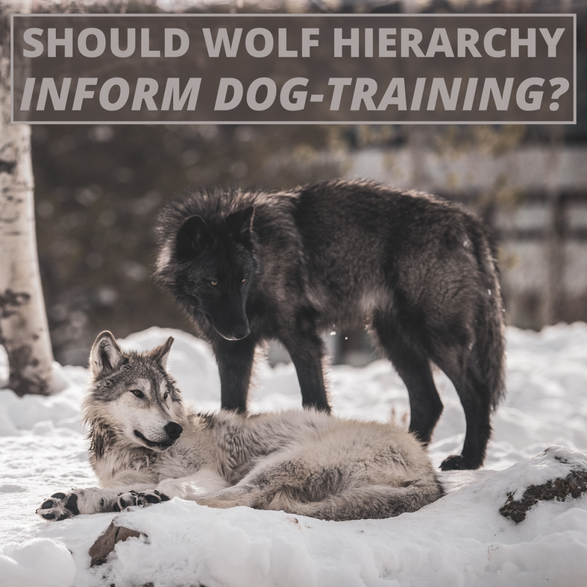 Early theories about wolf behavior led dog trainers to use authoritarian methods of behavior modification. This is no longer the norm.