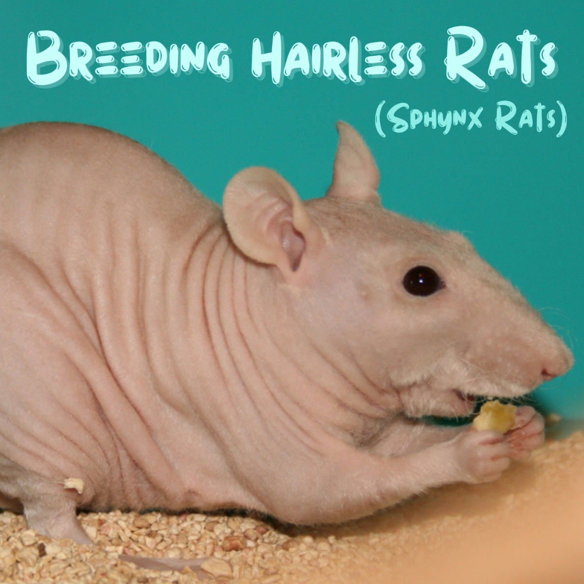 How to Breed Healthy Hairless Rats (Sphynx Rats)