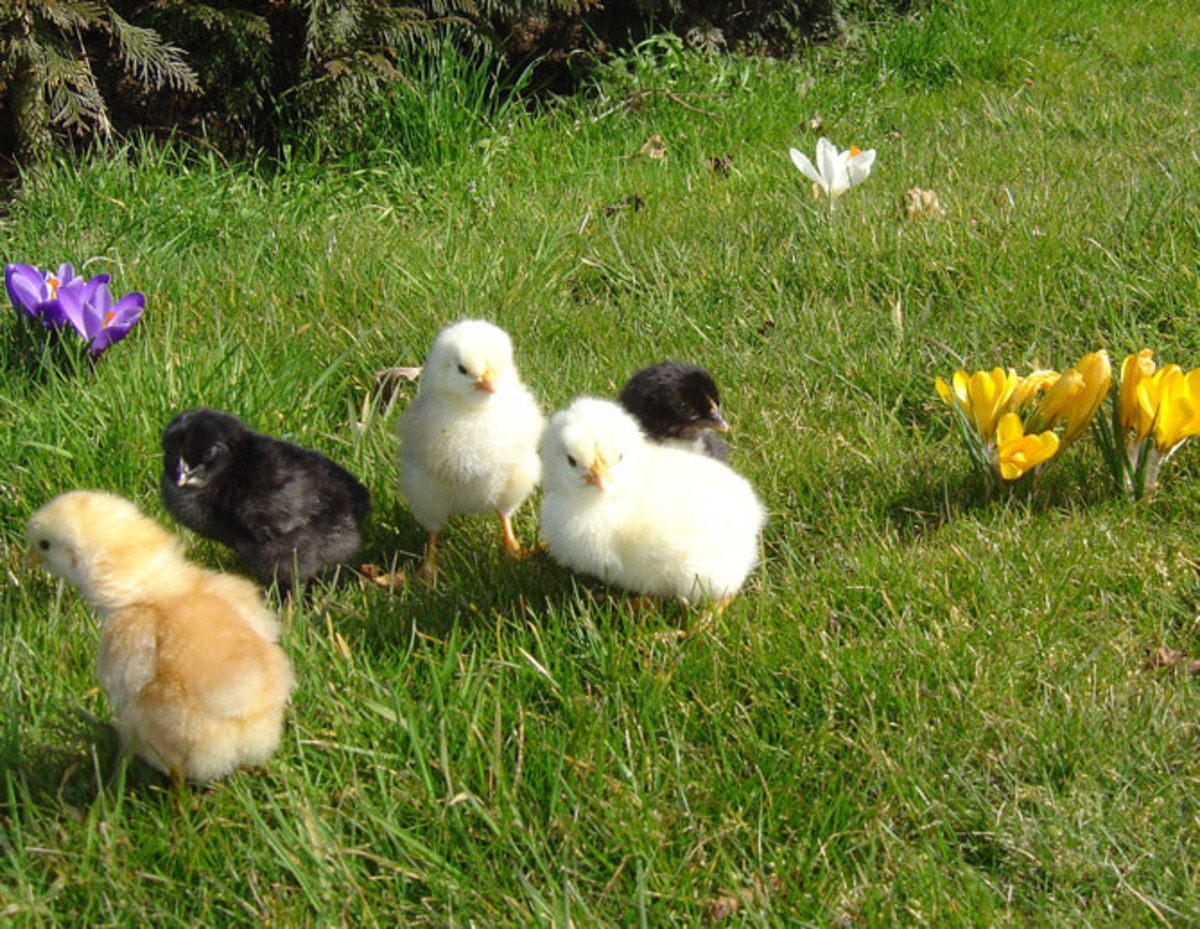 The chicks hatch with the crocus and make a charming picture