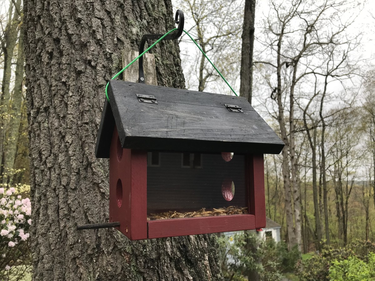 Bluebird feeder filled with freeze-dried mealworms