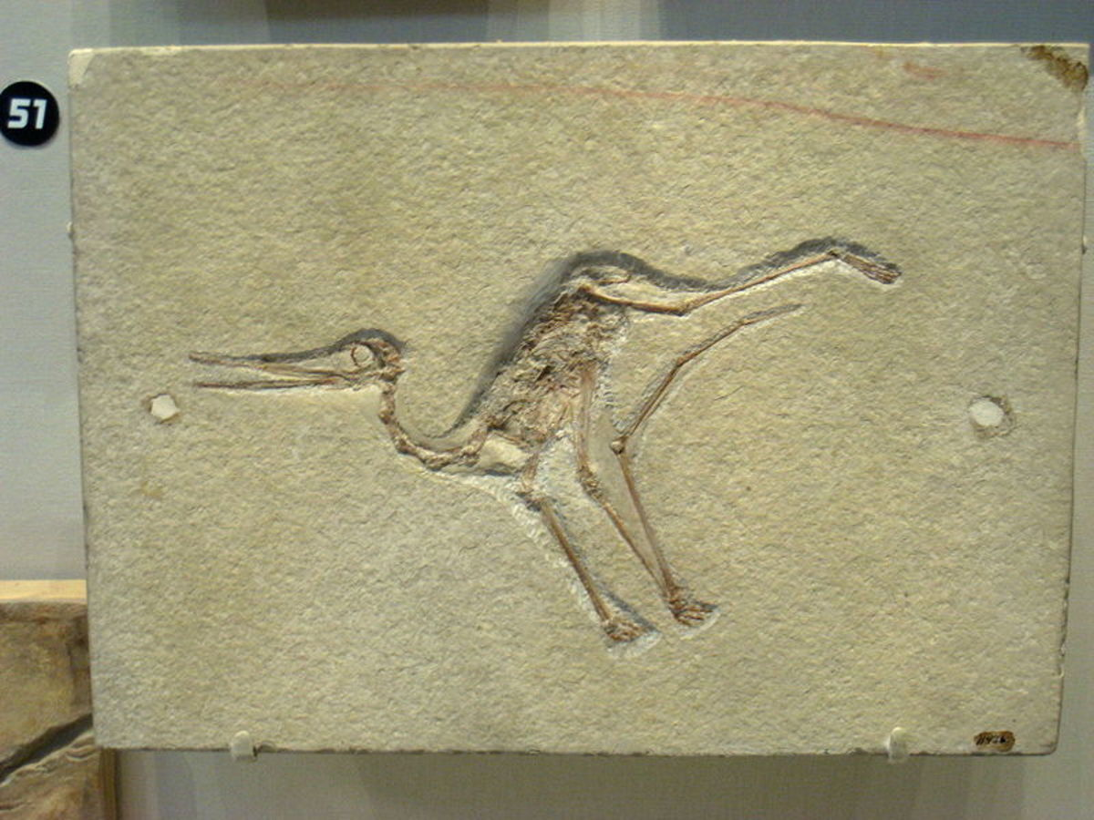 Image Source Location: http://en.wikipedia.org/wiki/File:Pterodactylus_micronyx_-_IMG_0677.jpg