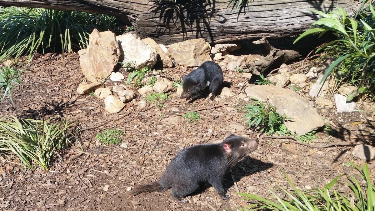 Tasmanian Devils in Enclosure