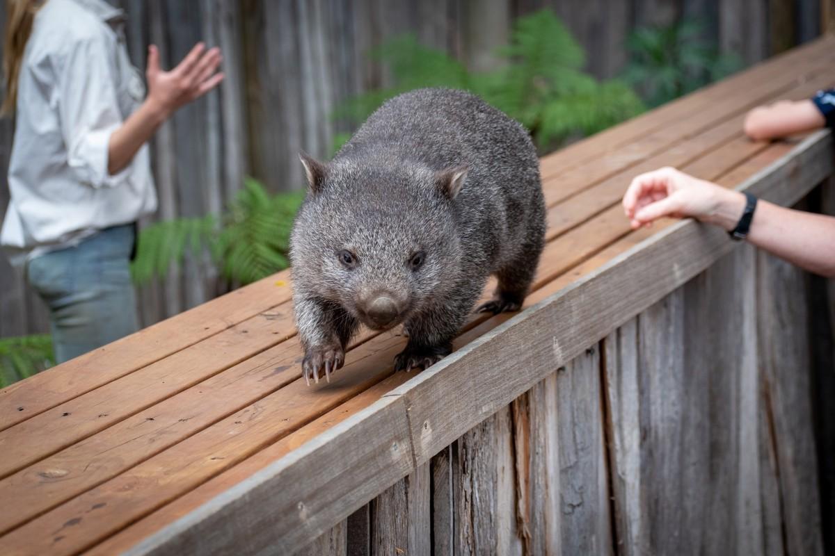 Wombat at Trowunna Wildlife Sanctuary