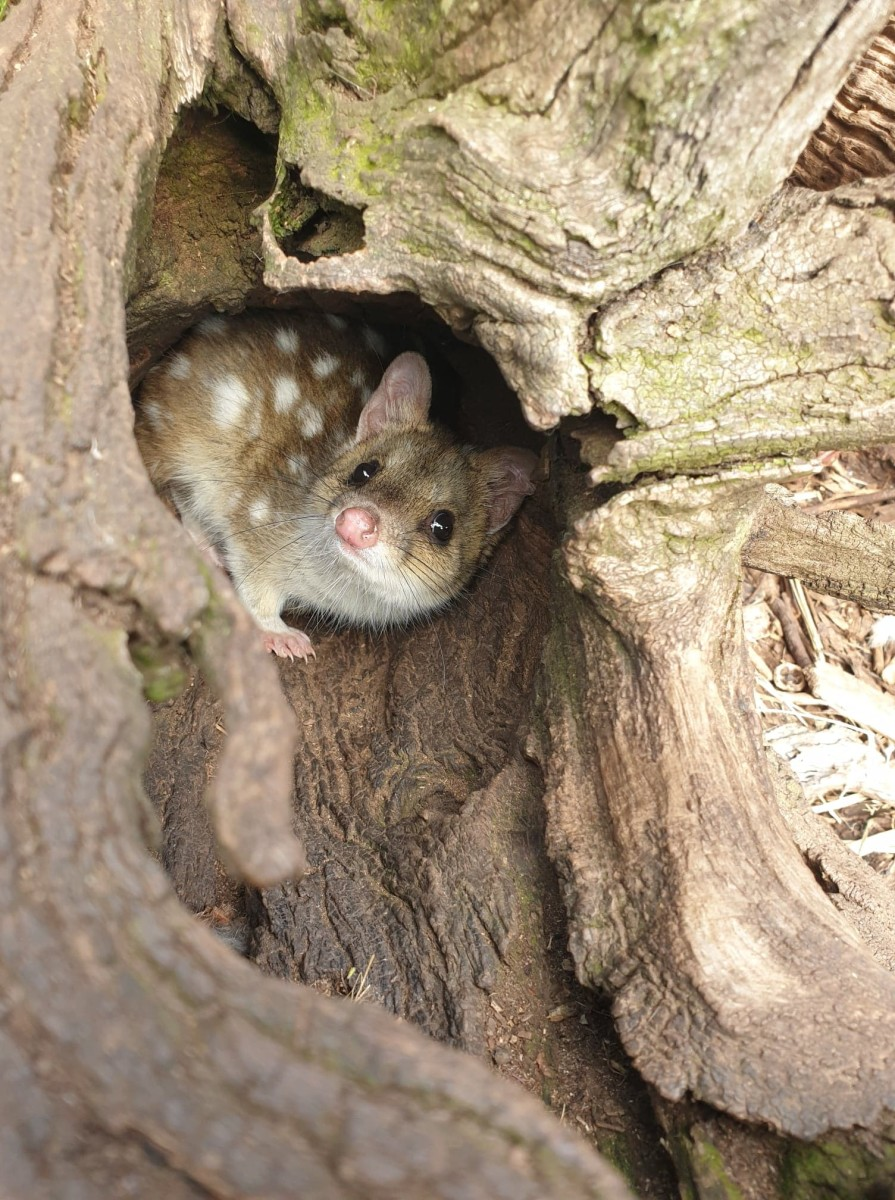 Spotted Tail Quoll at Trowunna Wildlife Sanctuary
