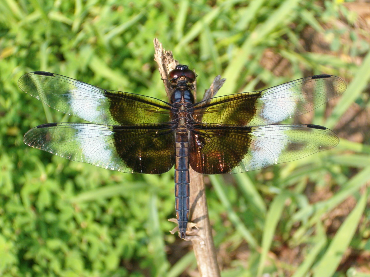 Haven't seen a dragonfly in a few years either.