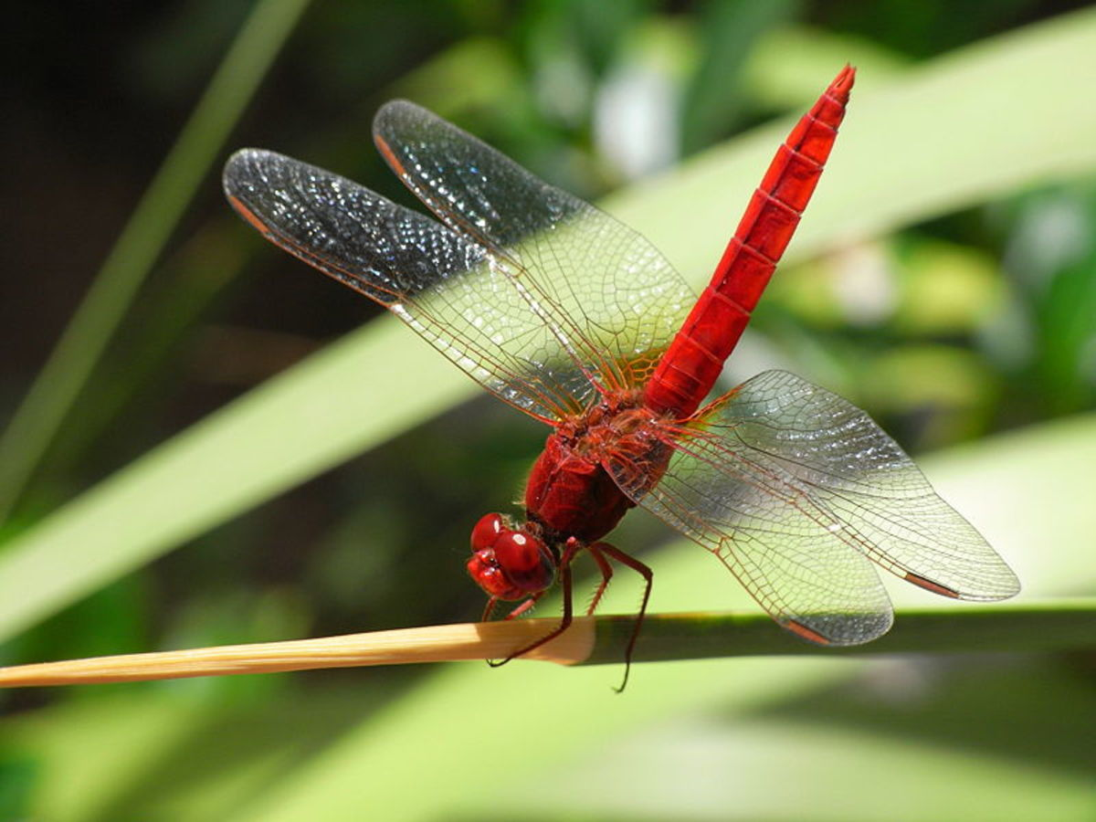 An interesting bright red dragonfly