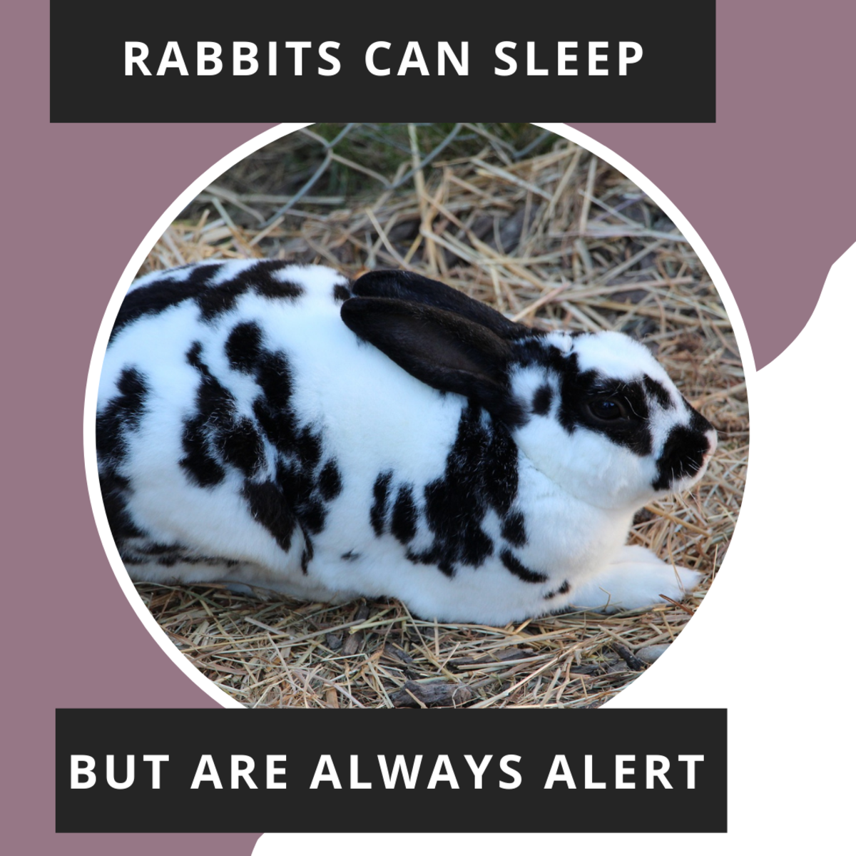 Rabbits can sleep but will always wake up if they hear noises.