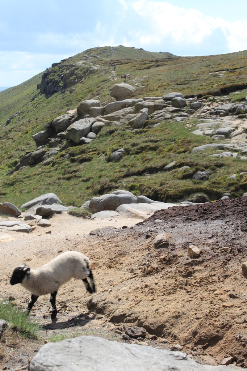 Sheep on the top of Kinder Scout with a view up to Grindslow Knoll