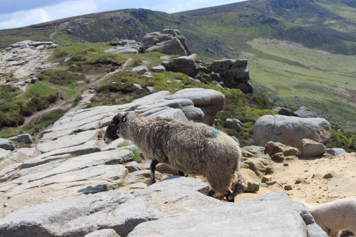 More sheep heading towards Crowden Tower on the rock ridge path