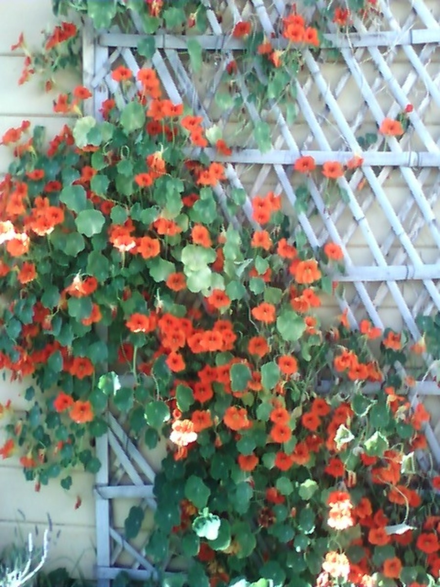 These nasturtiums have become one of my favorite vines- they don't even mind drought conditions!