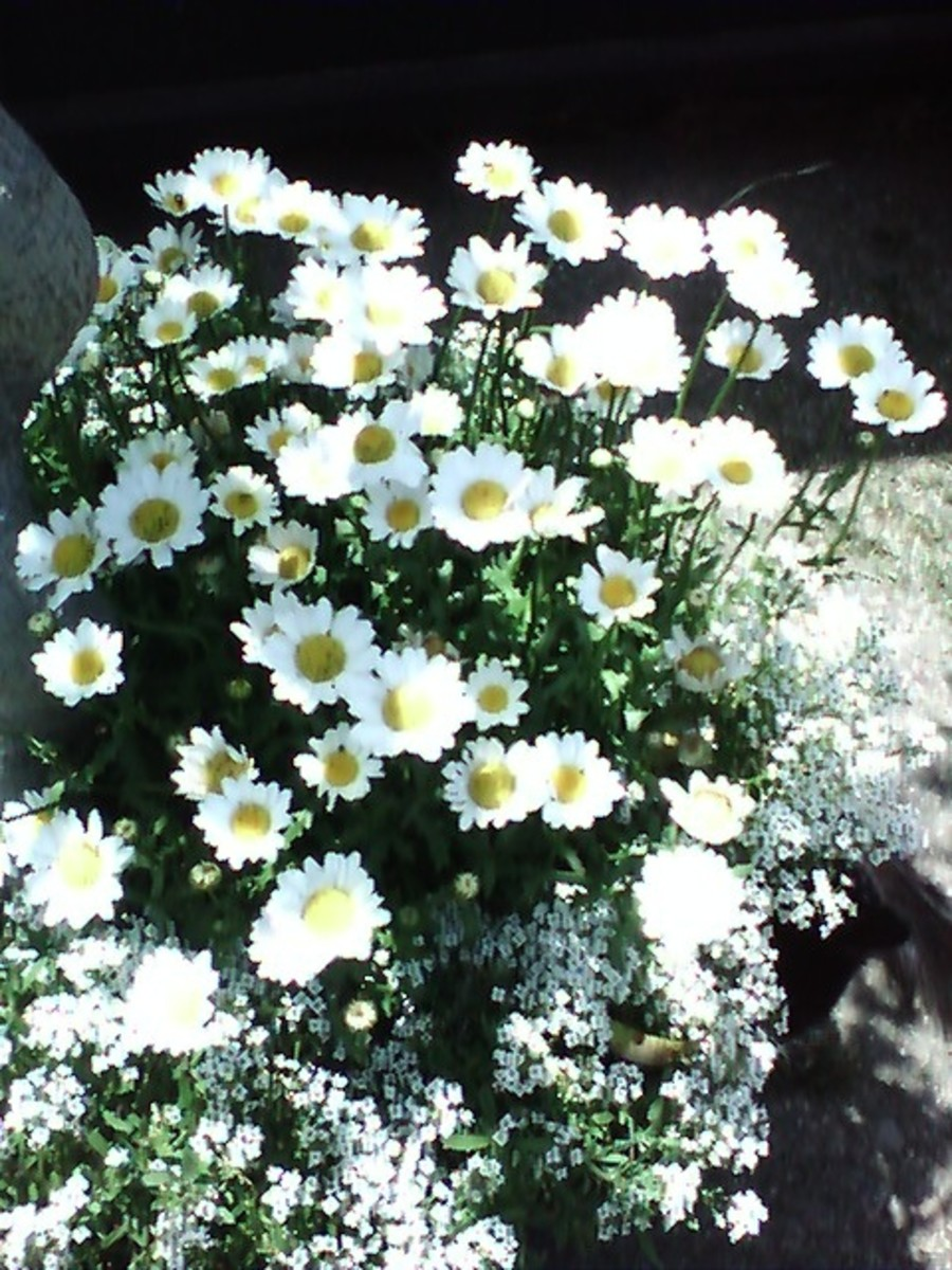 This is one of my favorite plants- these volunteer all over my yard