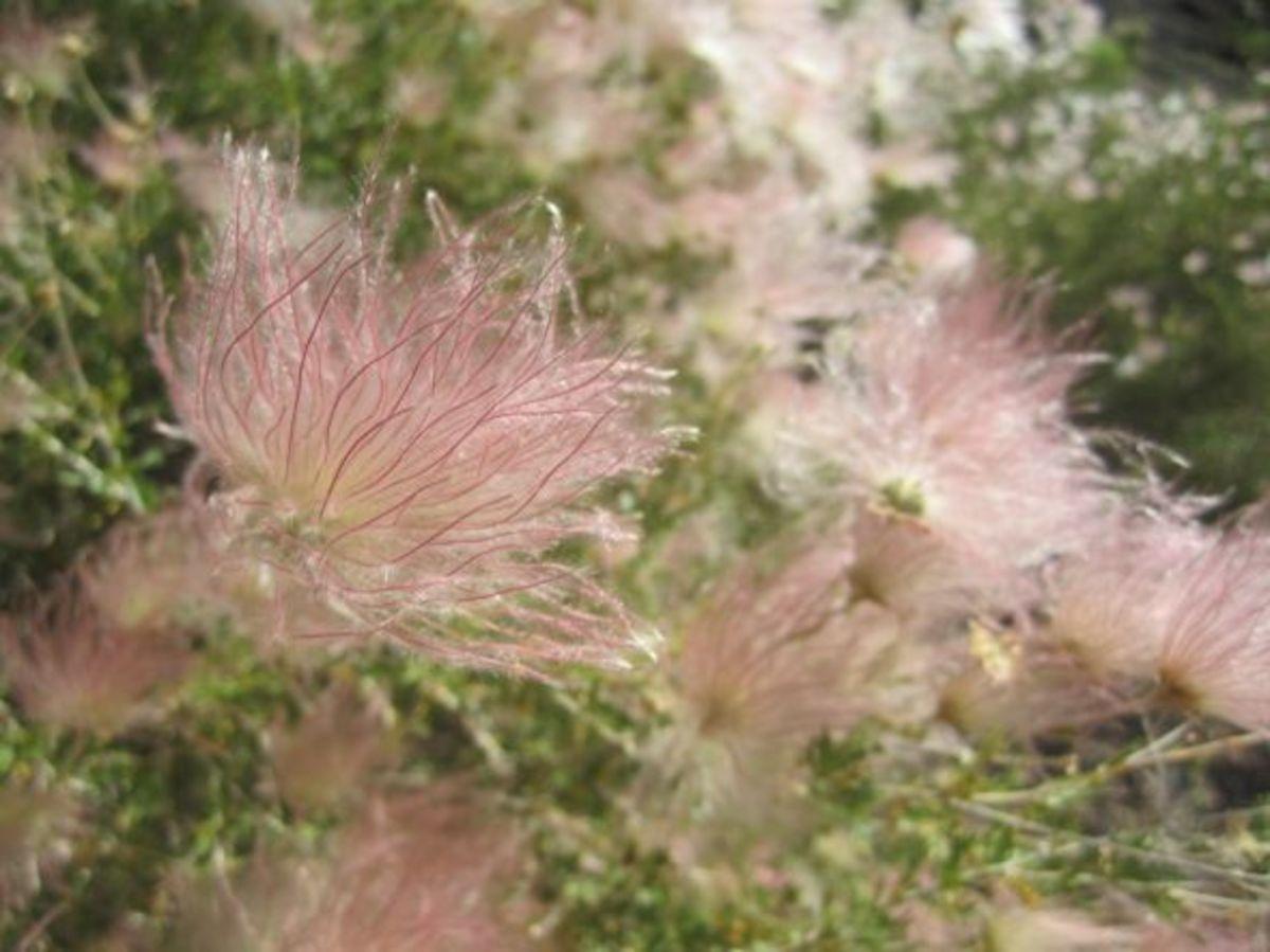 Spring blooms on O'Leary Peak near Flagstaff