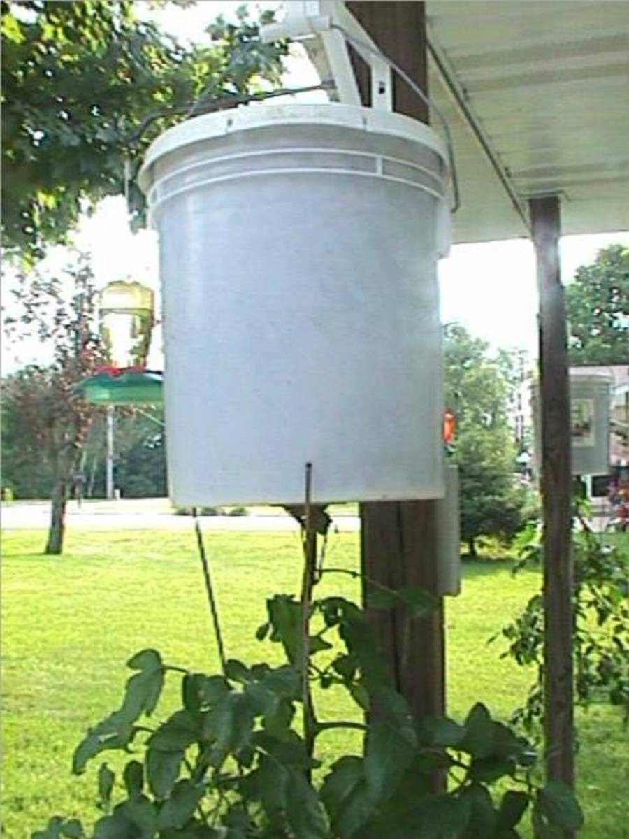 Upside Down Tomato Growing.