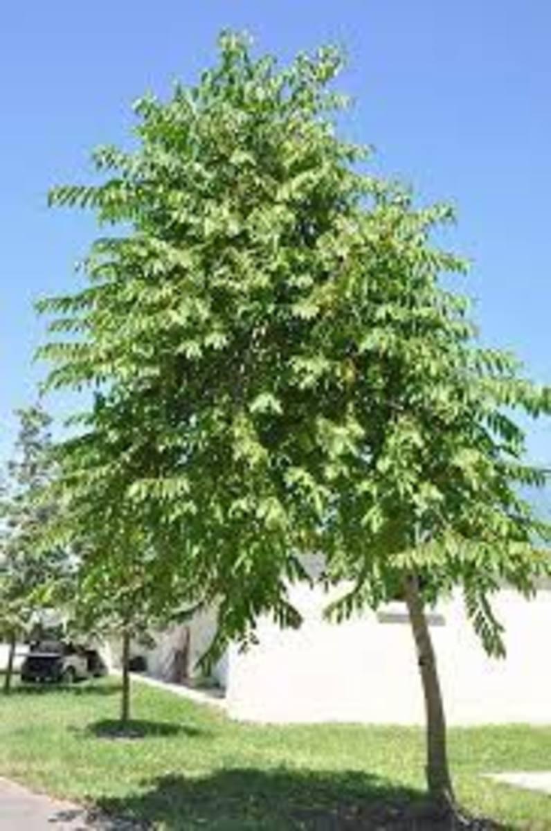 the-fabulous-ylang-ylang-perfume-tree