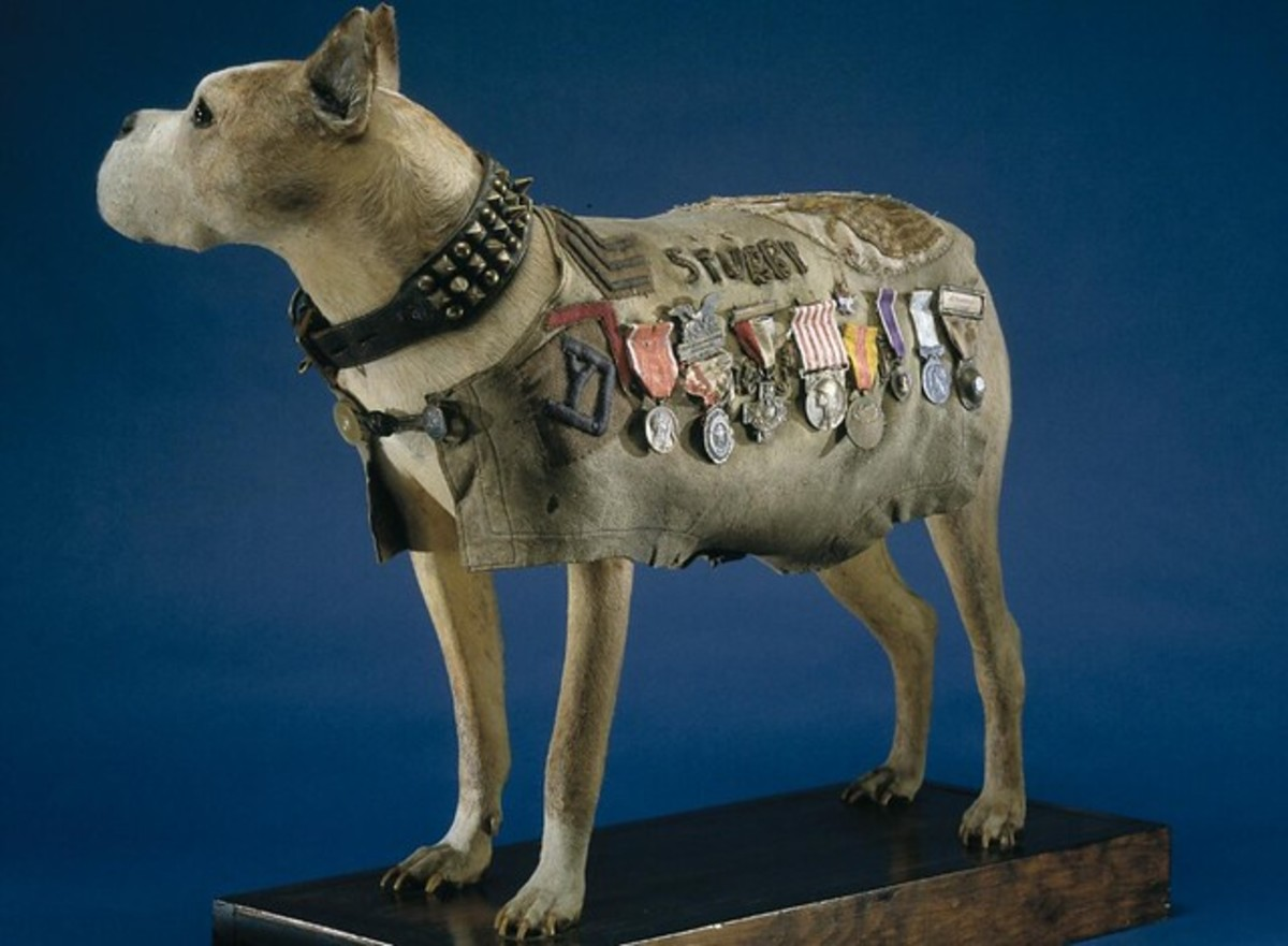 Sergeant Stubby remains on display at the Smithsonian
