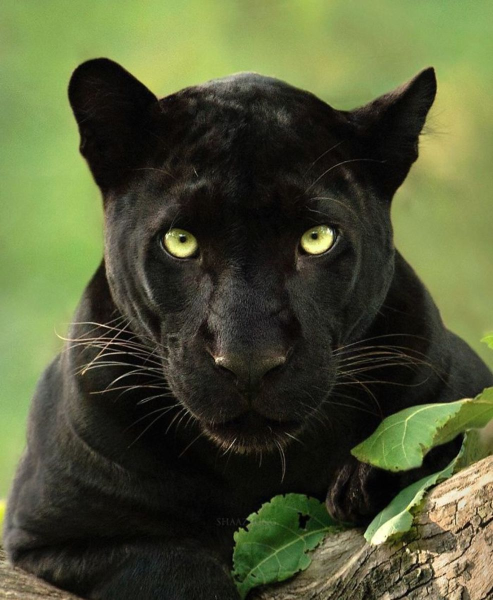 shooting-a-panther-in-the-jungles-of-khandwa