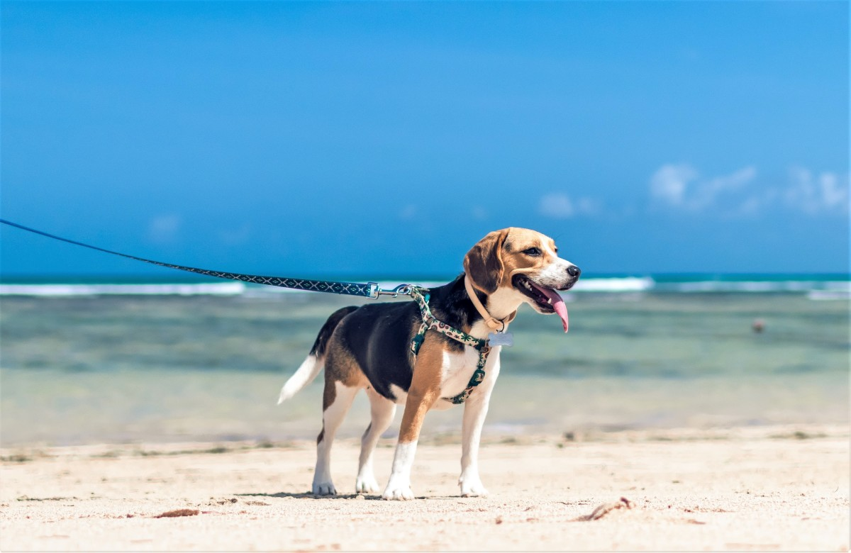 To discourage wandering, engage the dog in extended walks during which it has ample opportunities to explore.