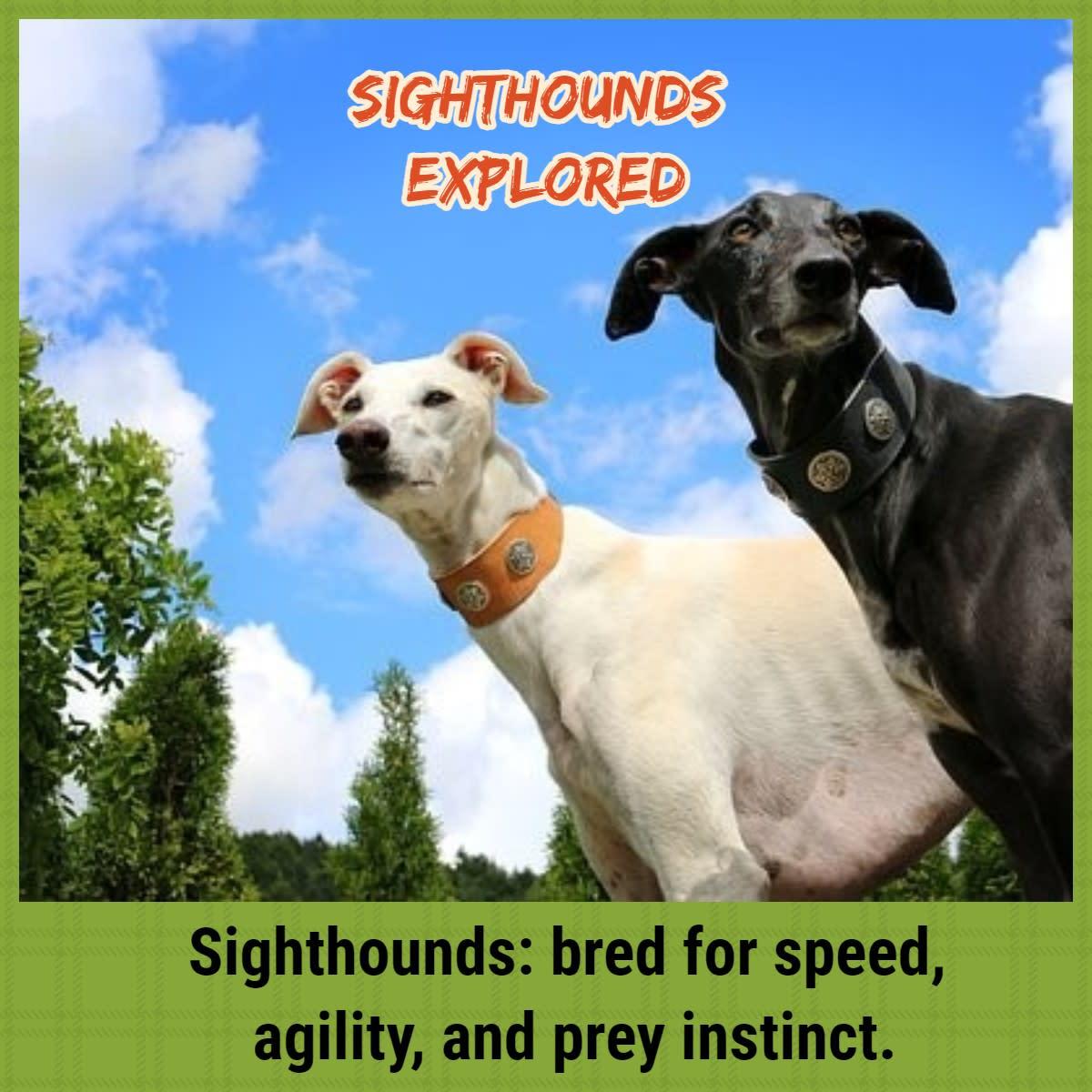 sighthound-breeds-explored