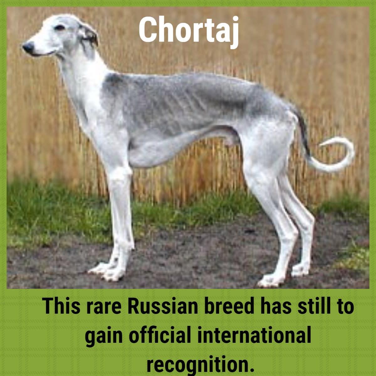 The Chortaj dog is also known as the Hortaya Borzaya, and Chortai.