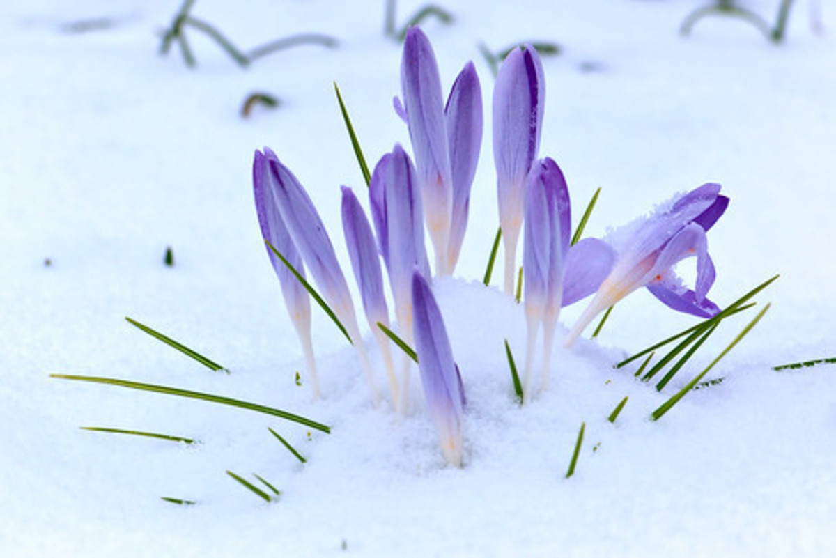 The emergence of the crocus heralds the approach of spring and the rabbits that come to eat the flowers.