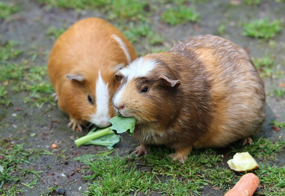 Guinea pigs typically eat dry pellets in addition to fresh veggies.