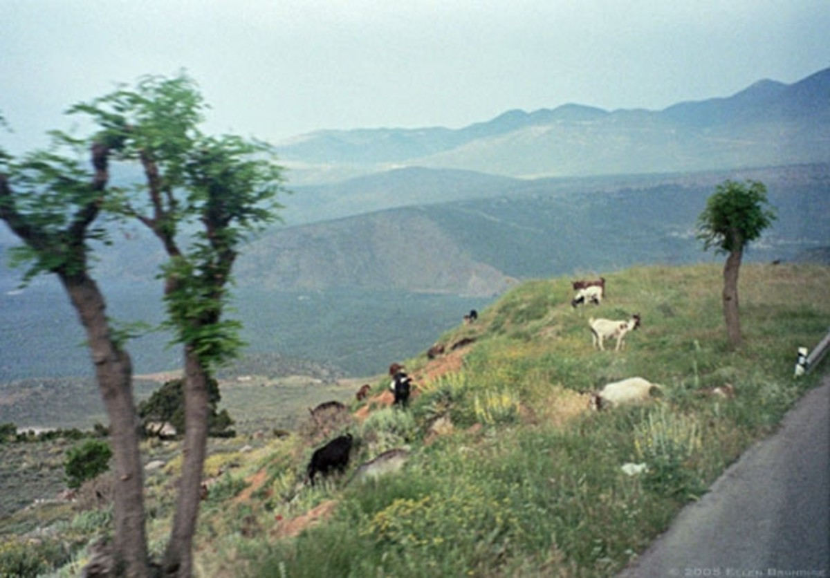 Goats in the rain beside the road down from Mt. Parnassos