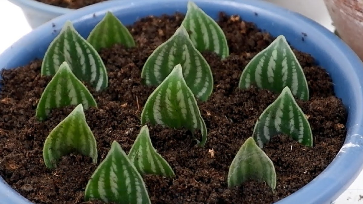 Watermelon Peperomia leaves can easily be propagated directly in the soil. Photo courtesy of Adela B.