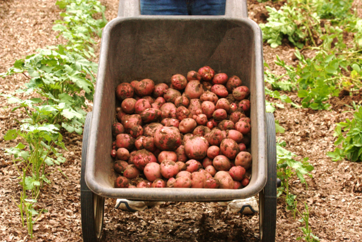Just Dug Potatoes from our Garden