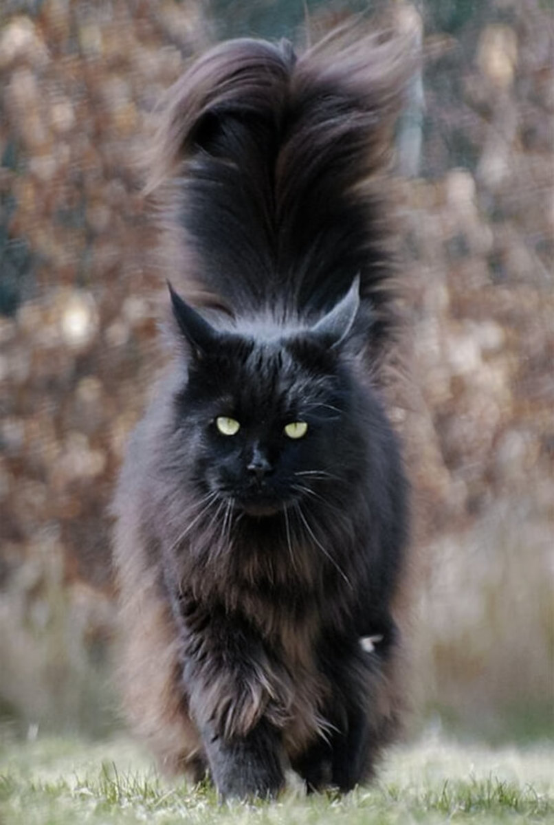 the-truth-of-the-maine-coon-cat
