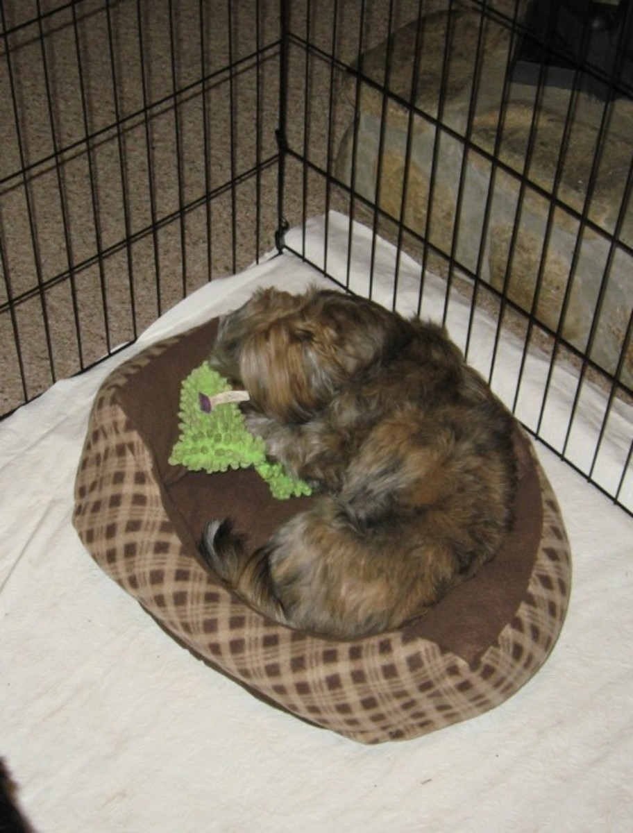Some designer dogs, like this Shorkie, can live very long lives.