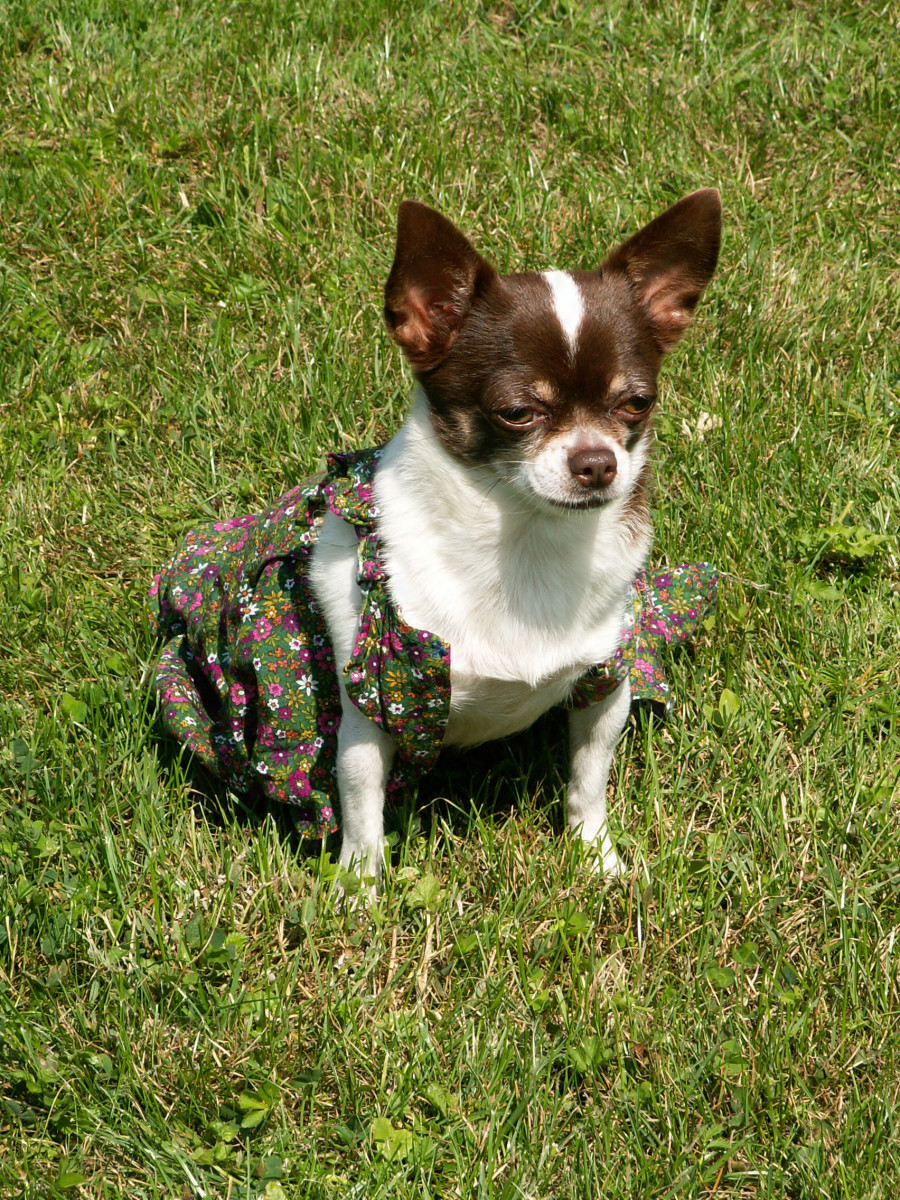 Chihuahuas are usually long-lived dogs.