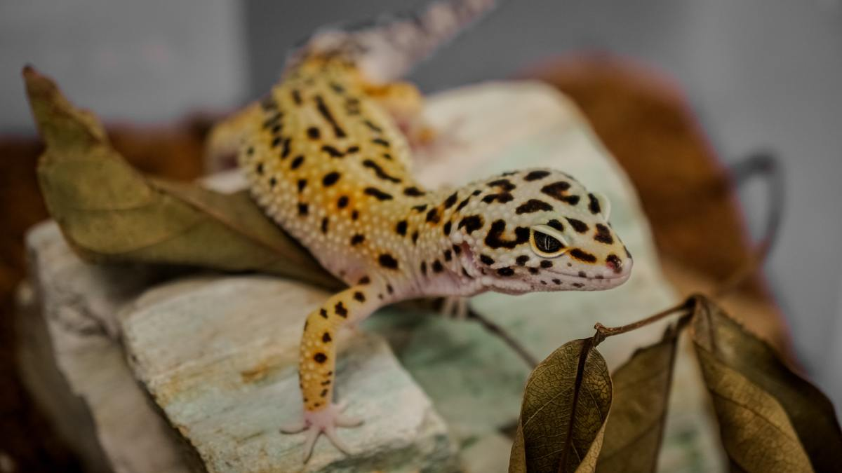 Why is my leopard gecko not eating?