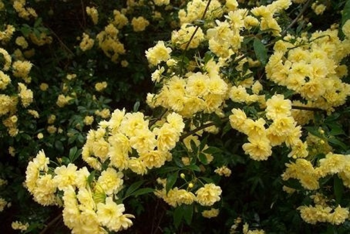 Lady Banks Rose- Yellow