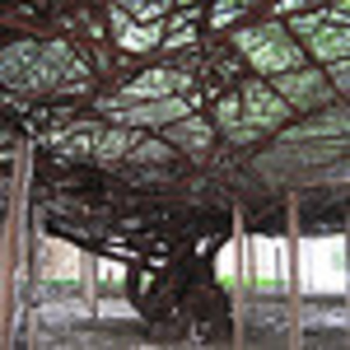 World's largest rose bush This is the trunk and a part of the under canopy. The bush is over 120 years old and covers 8,000 square feet.