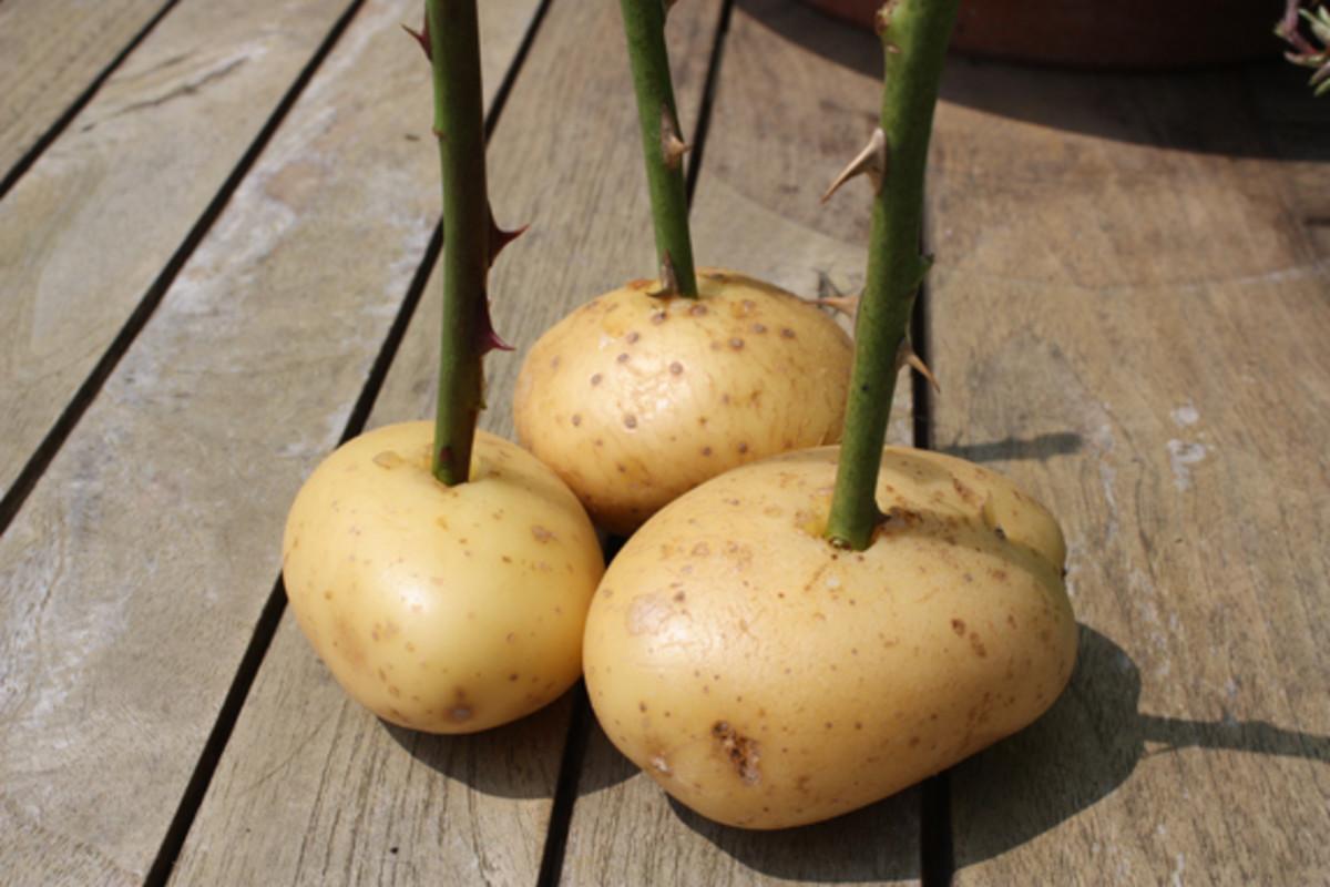 The secret of success is the humble potato!